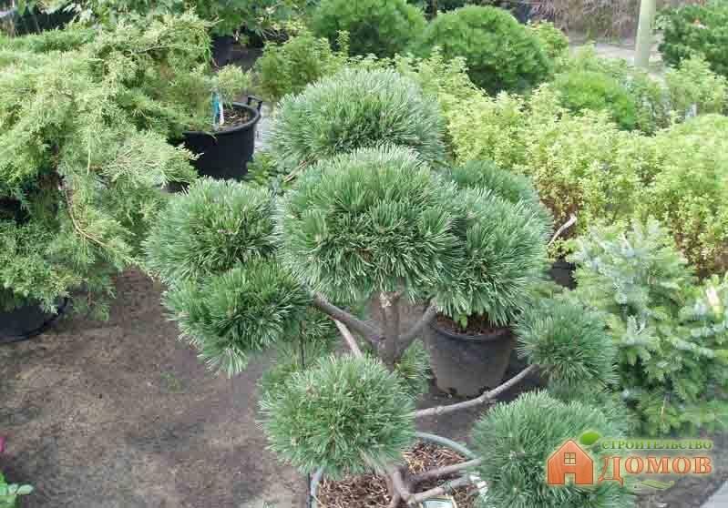 Декоративные хвойные деревья: их разновидности и выращивание