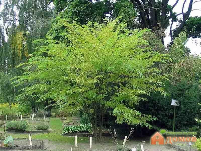 Декоративные садовые деревья. Их виды и уход за ними