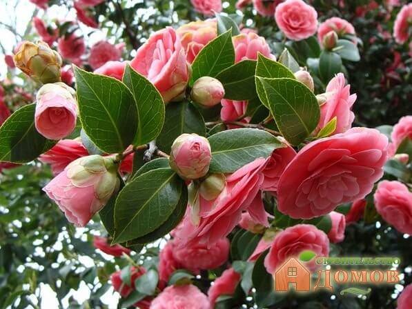 Красивые цветущие кустарники