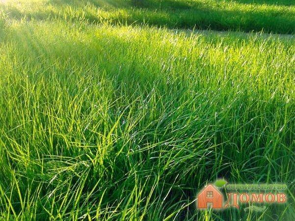 Виды газонной травы по сроку жизни и по росту
